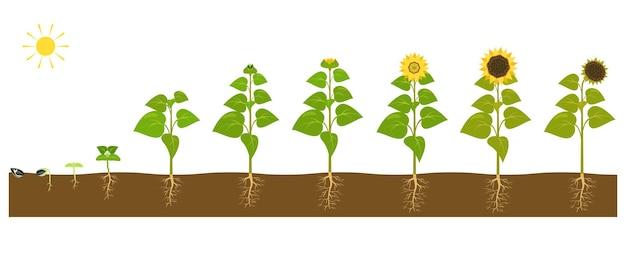 Der prozess des wachsens einer sonnenblume vom samen bis zur reifen pflanze. vektor-illustration von keimenden sämlingen im boden.