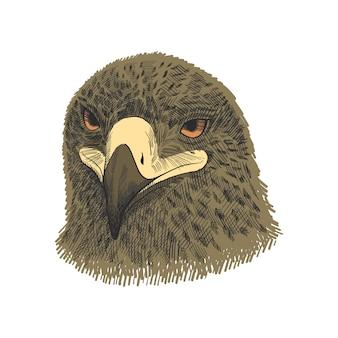 Der sakerfalke falco-cherrug, bunte illustration des adlers. hand gezeichnete skizze zeichnen.