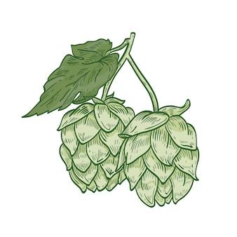 Detaillierte botanische zeichnung des grünen hopfenzweigs mit blütenknospen und blättern. kultivierte krautige pflanze