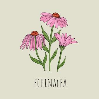 Detaillierte botanische zeichnung von eleganten rosa echinacea-blüten, die auf grünen stielen wachsen. schöne blühende pflanzenhand gezeichnet im weinlesestil. blumendekorelement. natürliche illustration.