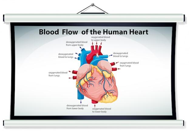 Diagramm, das blutfluß im menschlichen herzen zeigt