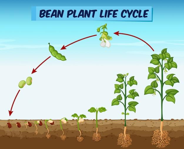Diagramm, das bohnenpflanzenlebenszyklus zeigt