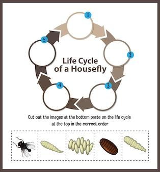Diagramm, das den lebenszyklus der stubenfliege zeigt