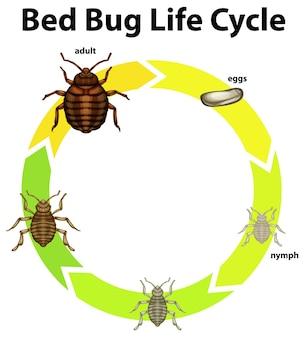 Diagramm, das den lebenszyklus von bettwanzen zeigt