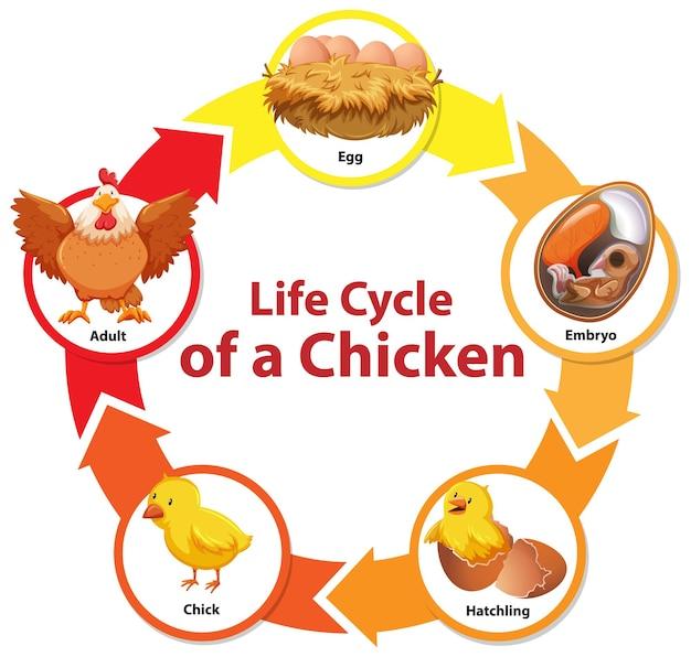 Diagramm, das den lebenszyklus von huhn zeigt
