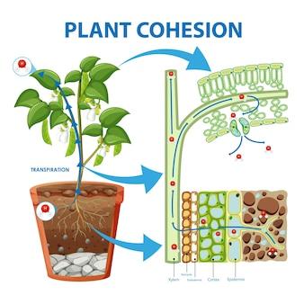 Diagramm, das den pflanzenzusammenhalt zeigt