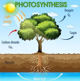 Diagramm, das den prozess der photosynthese in der pflanze zeigt