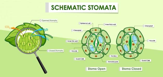 Diagramm, das details der pflanzenzelle zeigt