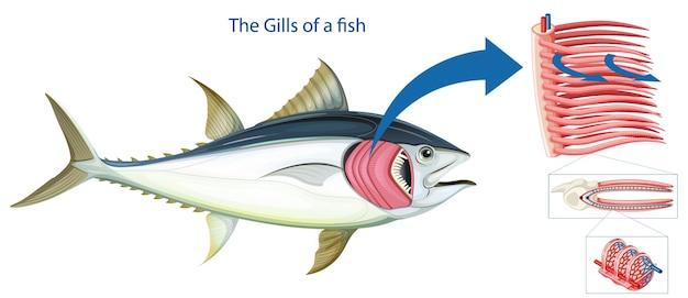 Diagramm, das die grills eines fisches zeigt
