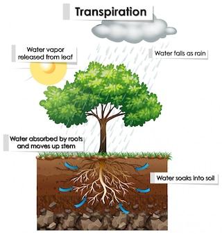 Diagramm, das die transpiration der pflanze zeigt