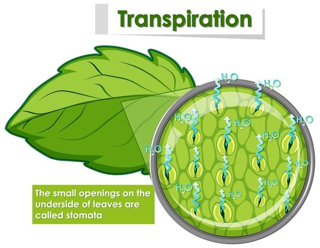 Diagramm, das die transpiration in der pflanze zeigt