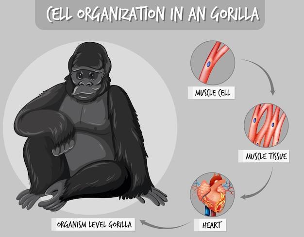 Diagramm, das die zellorganisation bei einem gorilla zeigt