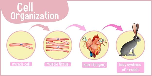 Diagramm, das die zellorganisation bei einem kaninchen zeigt