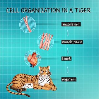 Diagramm, das die zellorganisation bei einem tiger zeigt