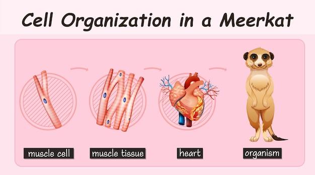 Diagramm, das die zellorganisation in einem erdmännchen zeigt