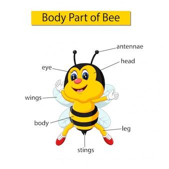 Diagramm, das körperteil der biene zeigt