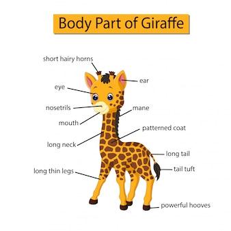 Diagramm, das körperteil der giraffe zeigt