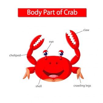 Diagramm, das körperteil der krabbe zeigt