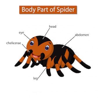 Diagramm, das körperteil der spinne zeigt