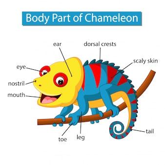 Diagramm, das körperteil des chamäleons zeigt