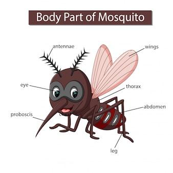 Diagramm, das körperteil des moskitos zeigt