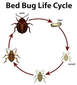 Diagramm, das lebenszyklus der bettwanze zeigt