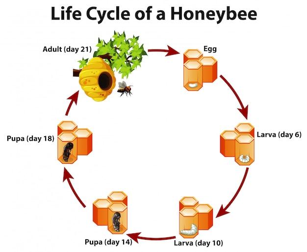 Diagramm, das lebenszyklus der honigbiene zeigt