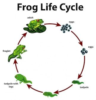 Diagramm, das lebenszyklus des frosches zeigt