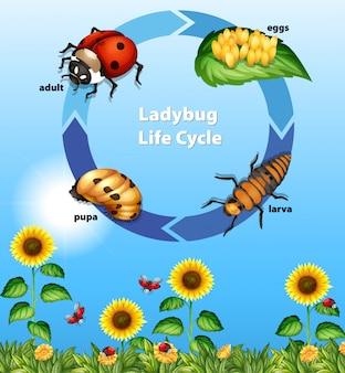 Diagramm, das lebenszyklus des marienkäfers zeigt
