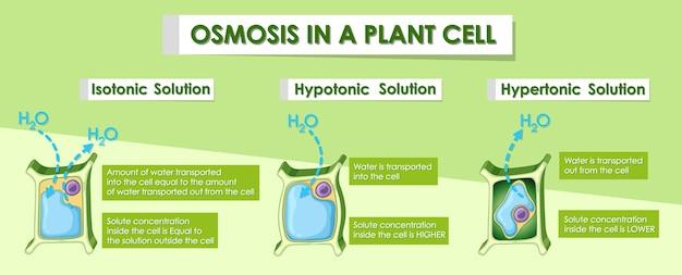 Diagramm, das osmose in pflanzenzellen zeigt