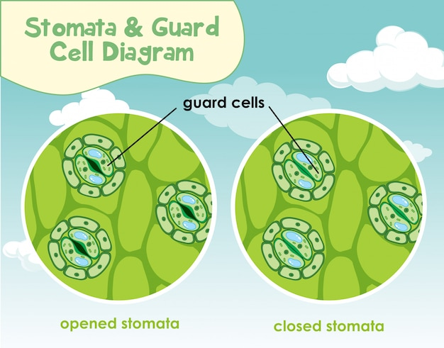 Diagramm, das pflanzenzelle mit spaltöffnungen und schutzzelle zeigt
