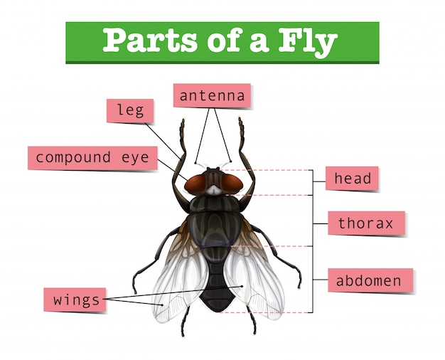 Diagramm, das teile der fliege zeigt