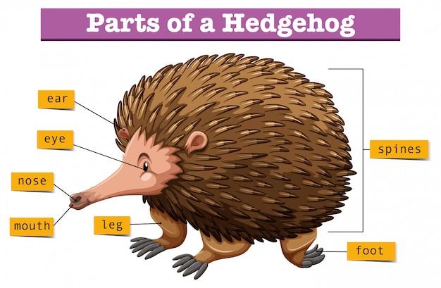 Diagramm, das teile des igels zeigt