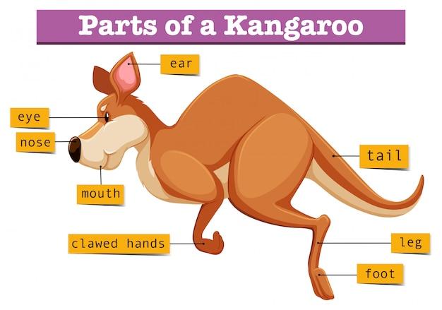 Diagramm, das teile des kängurus zeigt