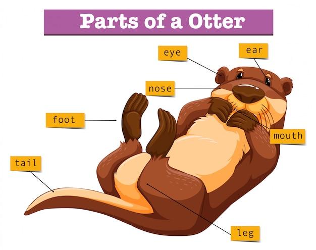 Diagramm, das teile des otters zeigt