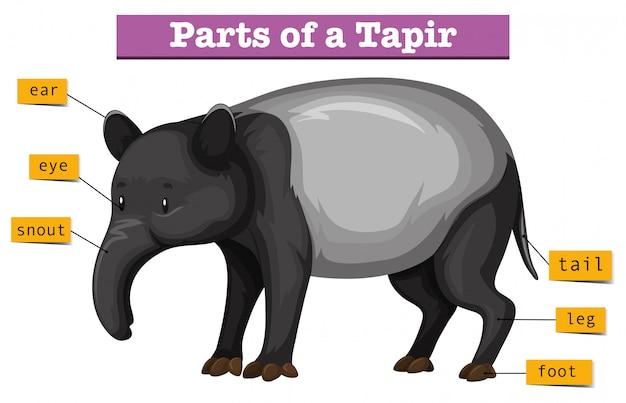Diagramm, das teile des tapirs zeigt