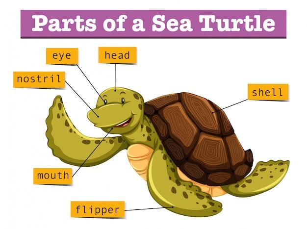 Diagramm, das verschiedene teile der schildkröte zeigt
