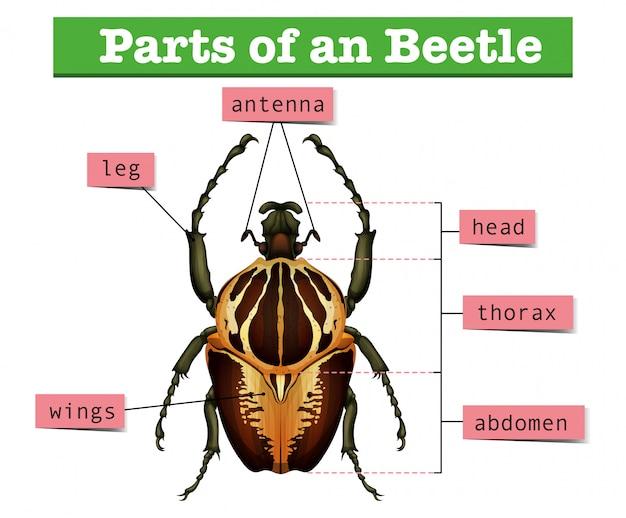 Diagramm, das verschiedene teile des käfers zeigt