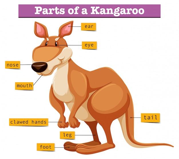 Diagramm, das verschiedene teile des kängurus zeigt