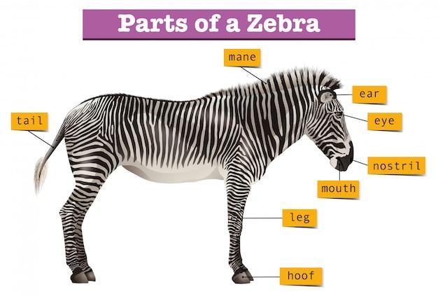 Diagramm, das verschiedene teile des zebras zeigt