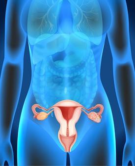 Diagramm der weiblichen genitalien beim menschen