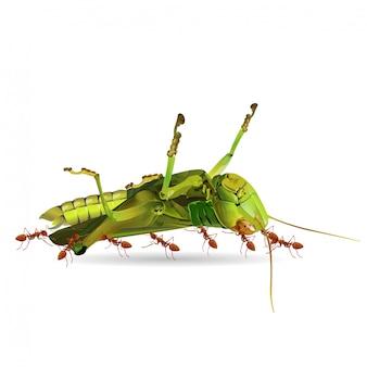 Die ameisen bewegen heuschrecken