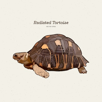 Die ausgestrahlte schildkröte ist eine art aus der familie der testudinidae. hand zeichnen skizze.