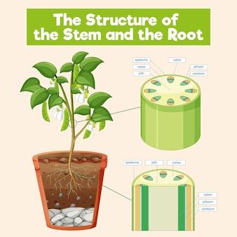 Die struktur des stammes und der wurzel