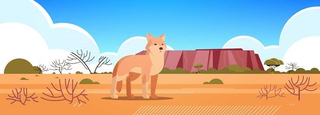 Dingo genießen die sonne in australien wüste australisches wildes tier tierwelt fauna konzept landschaft horizontal