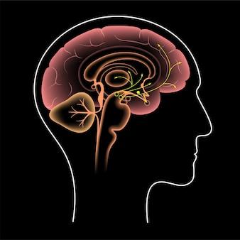 Dopaminweg im menschlichen gehirn. monoamin-neurotransmitter. motorsteuerungsvektorillustration
