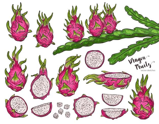Drachenfrucht eingestellt mit hylocereus baumskizze und pflanze von pitaya, hand gezeichnete skizze bunte tropische exotische fruchtillustration