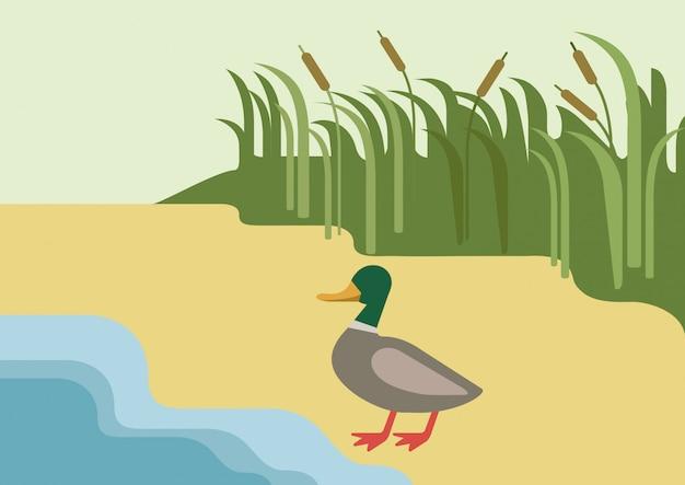 Drake ente auf flussuferlebensraumhintergrund flaches designkarikaturfarmwildtiervögel.