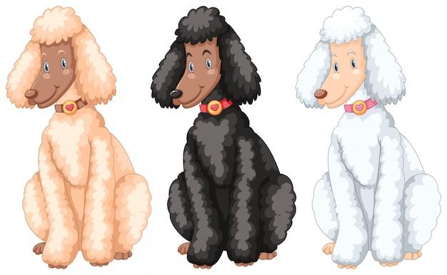 Drei pudelhunde mit verschiedenen fellfarben