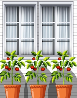 Drei tomatenpflanzen in töpfen auf fensterhintergrund